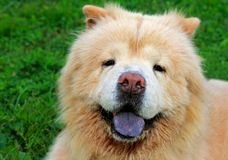 Closeup portrait of chow dog Stock Images