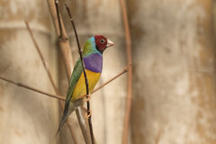 Closeup portrait of a colorful bird royalty free stock images