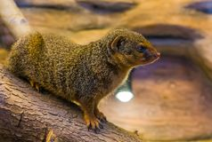 Closeup portrait of a common dwarf mongoose, cute and popular pet, tropical animal from Africa royalty free stock photography