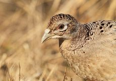 Closeup portrait of Common Pheasant (female) Stock Photos