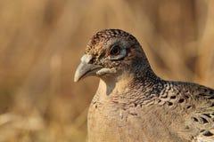 Closeup portrait of Common Pheasant (female) Stock Photos