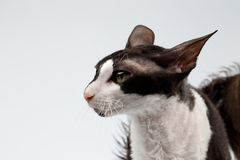 Closeup Portrait of Cornish Rex Cat Sits on White Stock Photo