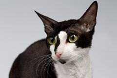 Closeup Portrait of Cornish Rex Cat  Sits on White Stock Image