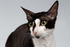 Closeup Portrait of Cornish Rex Cat  Sits on White Stock Image