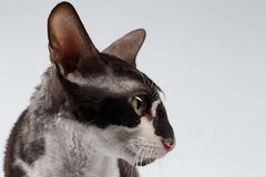 Closeup Portrait of Cornish Rex Cat on White. Background Stock Images