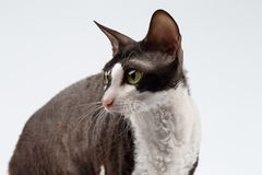 Closeup Portrait of Cornish Rex Cat on White. Background Royalty Free Stock Photos