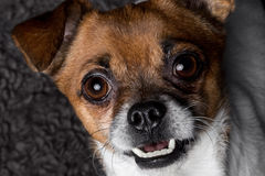Close-up portrait crossbreed dog pekingese pinscher. Close-up portrait crossbreed smile dog Royalty Free Stock Images