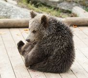 Closeup portrait of cub brown bear sitting without mother. Ursus arctos beringianus. Kamchatka bear stock photography