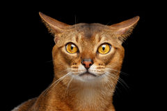 Closeup Portrait of curiosity Abyssinian cat  on black Royalty Free Stock Image