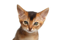 Closeup Portrait Cute Abyssinian Kitty on Isolated White Background Royalty Free Stock Image
