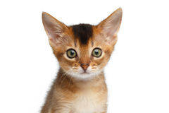 Closeup Portrait Cute Abyssinian Kitty on Isolated White Background Royalty Free Stock Photography