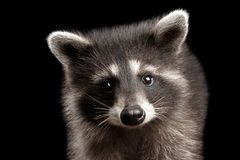 Closeup Portrait Cute Baby Raccoon isolated on Black Background Royalty Free Stock Photography