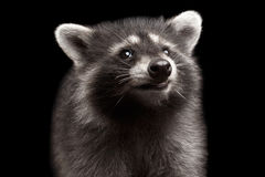 Closeup Portrait Cute Baby Raccoon isolated on Black Background. Closeup Portrait of Cute Baby Raccoon Looking up isolated on Black Background, Front view Stock Images