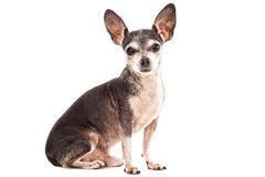 Closeup portrait of cute chihuahua dog Royalty Free Stock Image