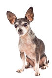 Closeup portrait of cute chihuahua dog Royalty Free Stock Photography
