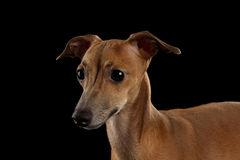 Closeup Portrait Cute Italian Greyhound Dog Looking forward  isolated Black Stock Photos