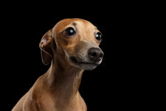 Closeup Portrait Cute Italian Greyhound Dog Looking up isolated Black Royalty Free Stock Photography