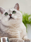 Closeup portrait of a cute light-grey cat with green eyes looking up at his master. Veterinary concept Royalty Free Stock Photo
