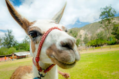 Closeup portrait of cute llama Stock Photography