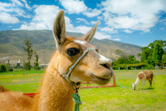 Closeup portrait of cute llama Royalty Free Stock Image