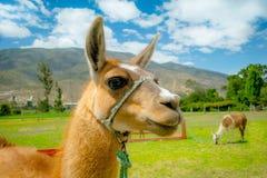 Closeup portrait of cute llama Royalty Free Stock Image