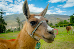 Closeup portrait of cute llama Stock Image