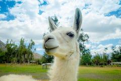 Closeup portrait of cute llama Royalty Free Stock Photo