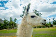 Closeup portrait of cute llama Royalty Free Stock Photography