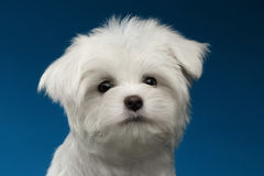 Closeup Portrait of  Cute White Maltese Puppy on blue background. Closeup Portrait of  Cute White Maltese Puppy  on blue background Royalty Free Stock Photo