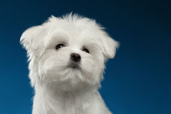 Closeup Portrait Cute White Maltese Puppy Looking up, blue background Royalty Free Stock Images