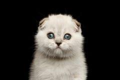 Closeup portrait Cute White Scottish Fold Kitten with blue eyes Stock Photos