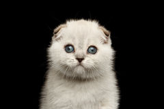 Free Closeup Portrait Cute White Scottish Fold Kitten With Blue Eyes Stock Photos - 70739723