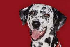 Closeup Portrait Of Dalmatian With Mouth Open Royalty Free Stock Photo