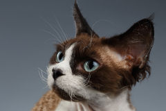 Closeup Portrait of Devon Rex Looking at left on Gray Royalty Free Stock Photography