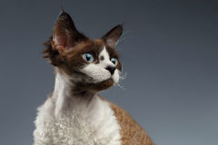 Closeup Portrait of Devon Rex Looking at right on Gray Stock Photography