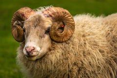 Sheep portrait Iceland stock photo