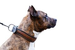 Closeup portrait of dog - American Staffordshire Terrier. Closeup portrait of dog in profile - American Staffordshire Terrier. Isolated on white royalty free stock photos