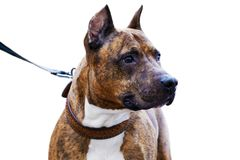 Closeup portrait of dog - American Staffordshire Terrier Stock Images