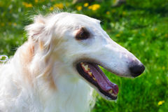 Closeup portrait dog Borzoi breed smiling Stock Photos