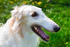 Closeup portrait dog Borzoi breed smiling Stock Photos