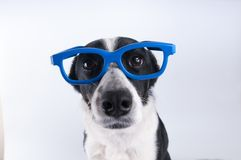 Closeup portrait of dog with calculator. Closeup portrait of dog in blue funny glasses Royalty Free Stock Photos