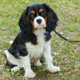 Closeup portrait of the dog Cavalier King Charles Spaniel breed Royalty Free Stock Image
