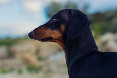 Closeup portrait of a dog puppy, breed dachshund black and tan, against a blue sky stock photos
