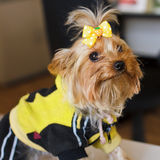 Closeup portrait of a dog Yorkshire terrier. Yorkshire terrier red color with a yellow bow in a yellow jacket and black pants with stripes Royalty Free Stock Image