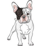 Vector sketch domestic dog French Bulldog breed Royalty Free Stock Image