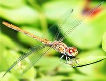 Closeup portrait of dragonfly Stock Photos