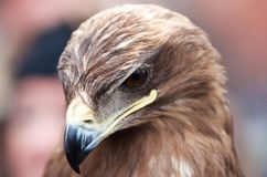 Closeup portrait of an eagles head Stock Image