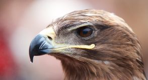 Closeup portrait of an eagles head Royalty Free Stock Photography