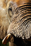 Closeup portrait of Elephant bull Royalty Free Stock Photography