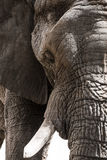 Closeup portrait of an elephant Royalty Free Stock Images
